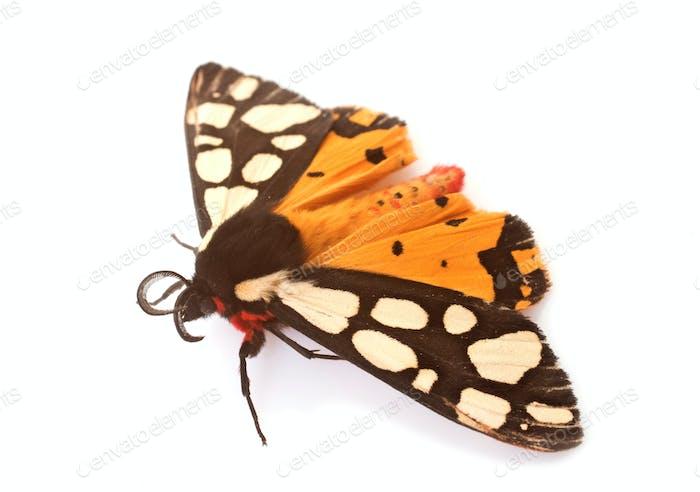 Epicallia villica butterfly