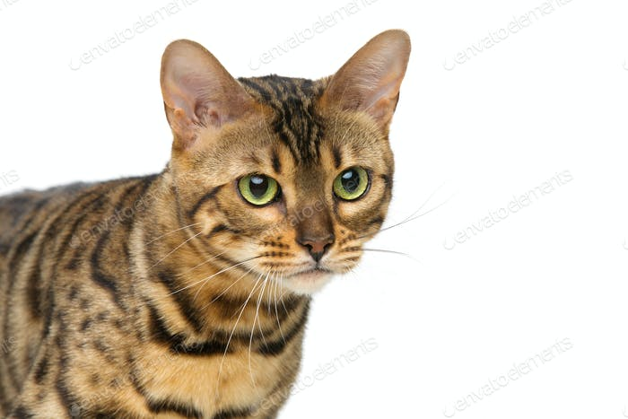 Beautiful bengal cat