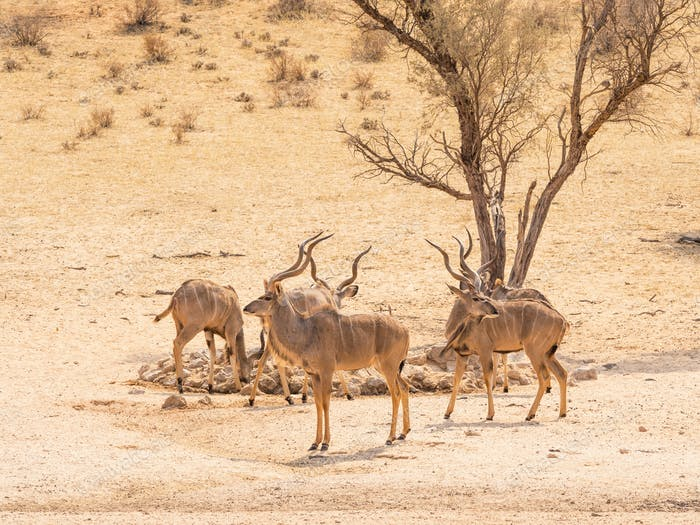 Kudu Bachelor Herd