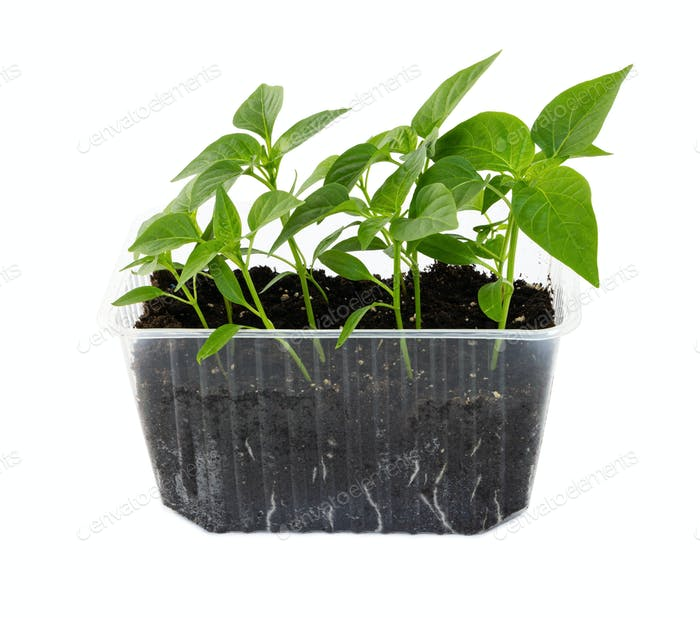 Green pepper seedlings growing in plastic container