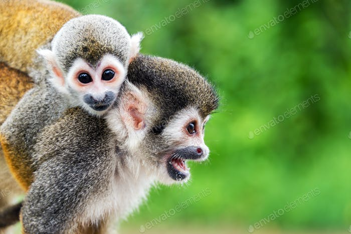 Squirrel Monkey Mother and Child