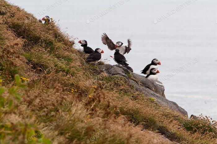 puffinvogel - Symbol von Island