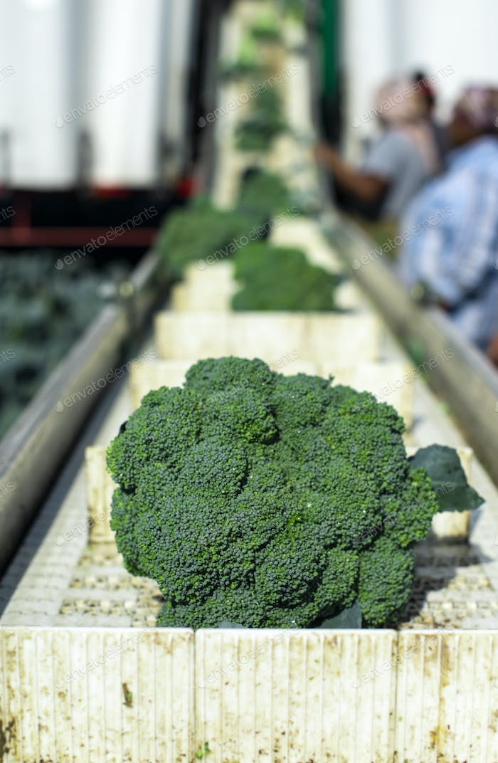 Harvest broccoli in farm with tractor and conveyor. Workers pick
