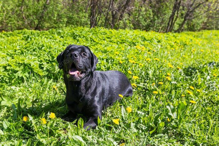 Labrador auf dem Rasen in einem Park
