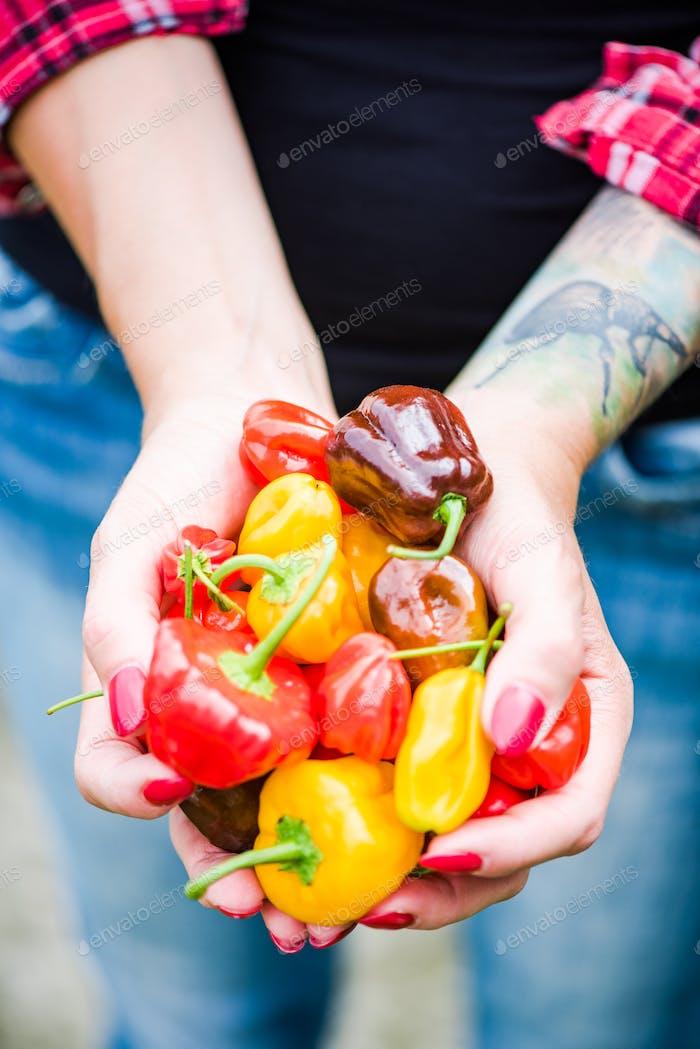 Frau Hände halten bunten Paprika im Garten