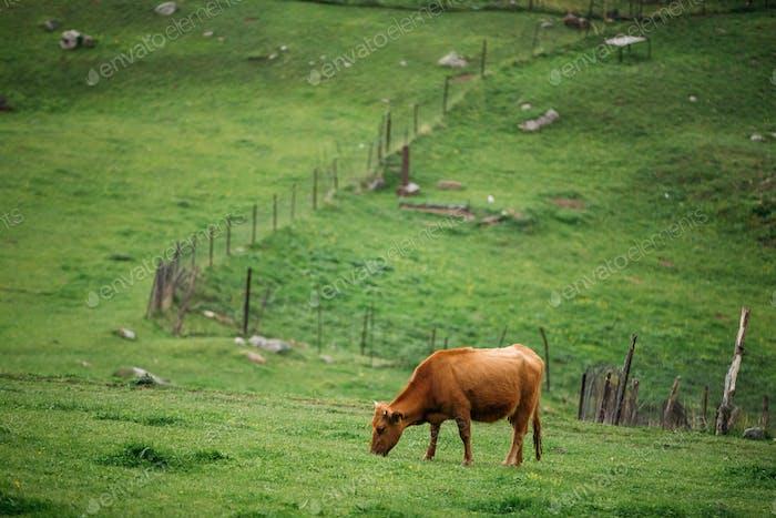 Kuh Essen Gras In Frühling Weide. Kuh Weiden auf einem grünen Berg
