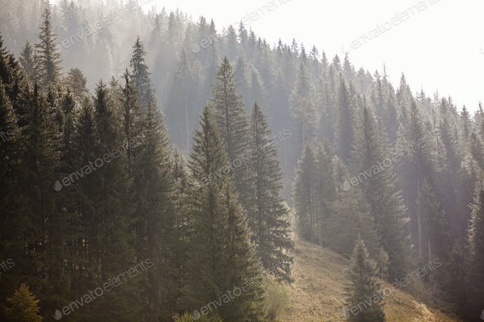 Sun shines through fog and conifers in mountain