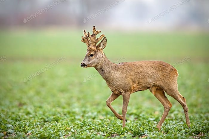 Roe deer, capreolus capreolus, buck with big antlers covered in velvet walking