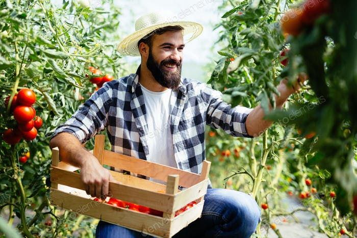 Male farmer picking fresh tomatoes from his hothouse garden
