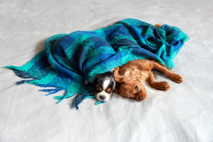 Two spaniels under the blanket