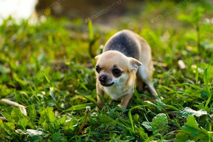 Kleine Angst Chihuahua Hund