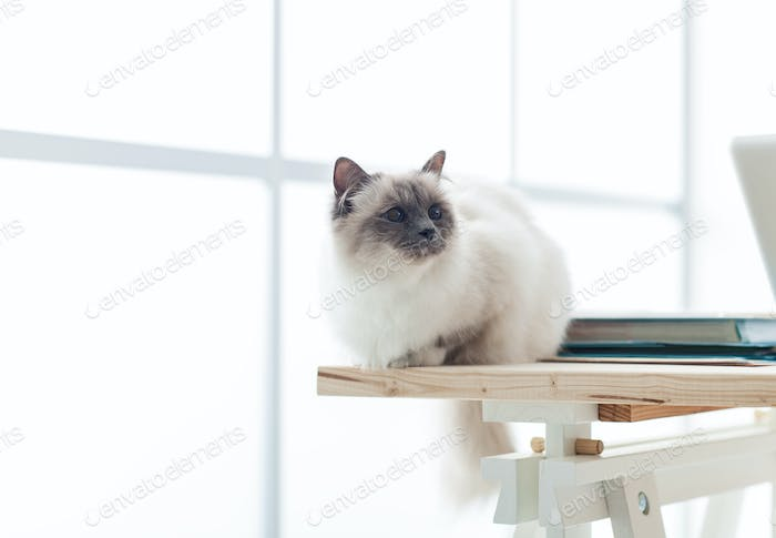 Lovely birman cat at home
