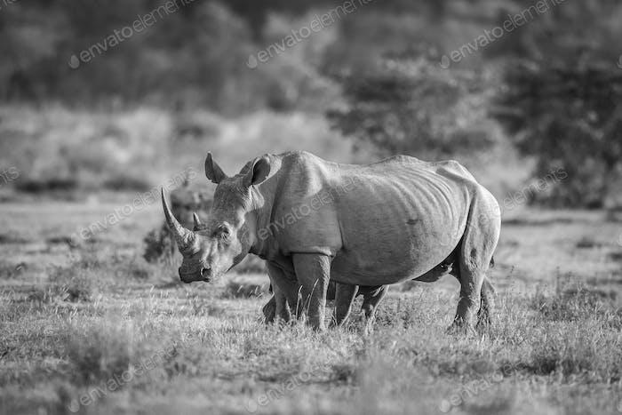 Rinoceronte blanco de pie en la hierba.