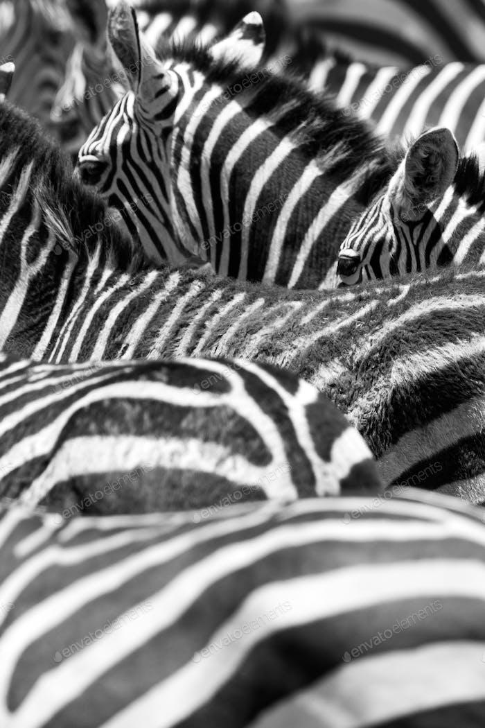 Nahaufnahme der schwarz-weißen Zebrastreifen