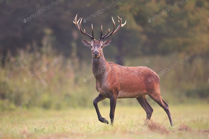 Wild red deer, cervus elaphus, walking on a meadow in natural environment