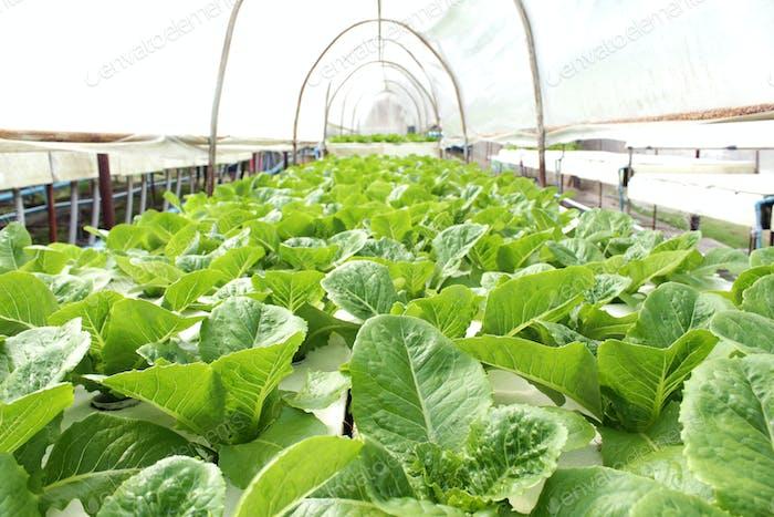 Fresh butterhead salad lettuce