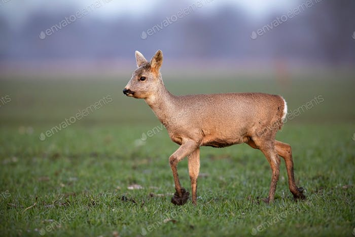 Roe deer, capreolus capreolus, doe walking on a field with mud on hoof