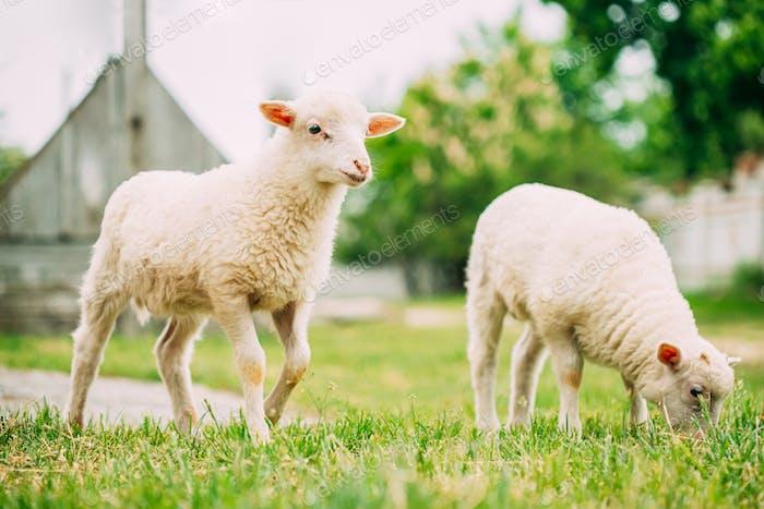 Domestic Small Sheep Lamb Grazing Feeding In Pasture. Sheep Farming