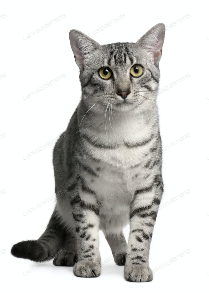 Egyptian Mau Cat, 7 months old, sitting in front of white background
