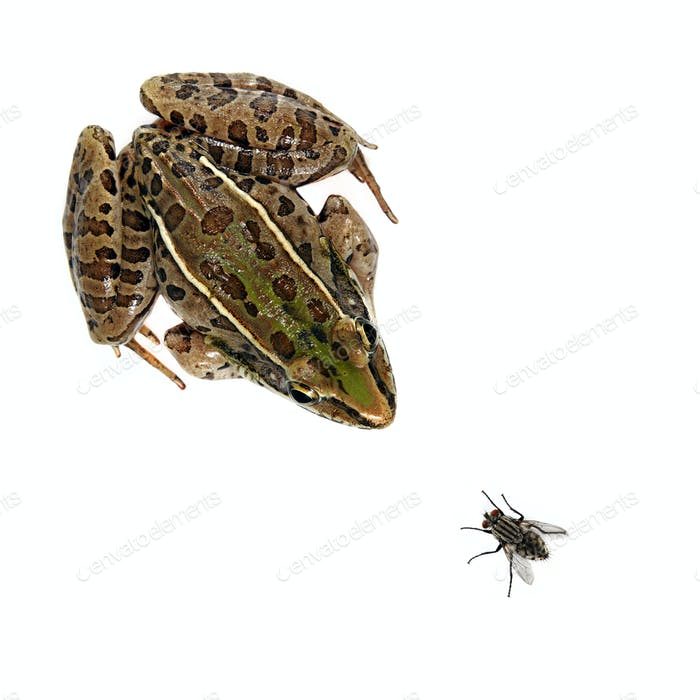Leopard Frog and Fly