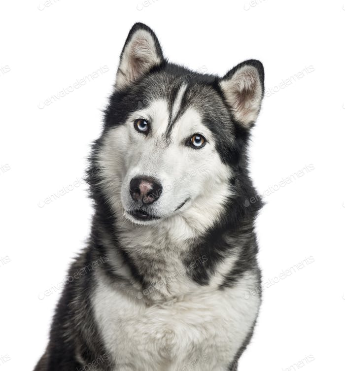 Close-up of a Siberian Husky, 4 years old , isolated on white