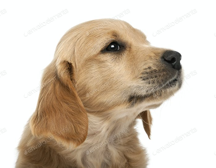 Close-up of Golden retriever puppy, 7 weeks old, looking away against white background