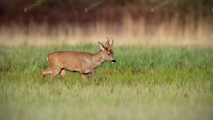 Roe deer buck in winter coat in spring walking on a green meadow in daylight
