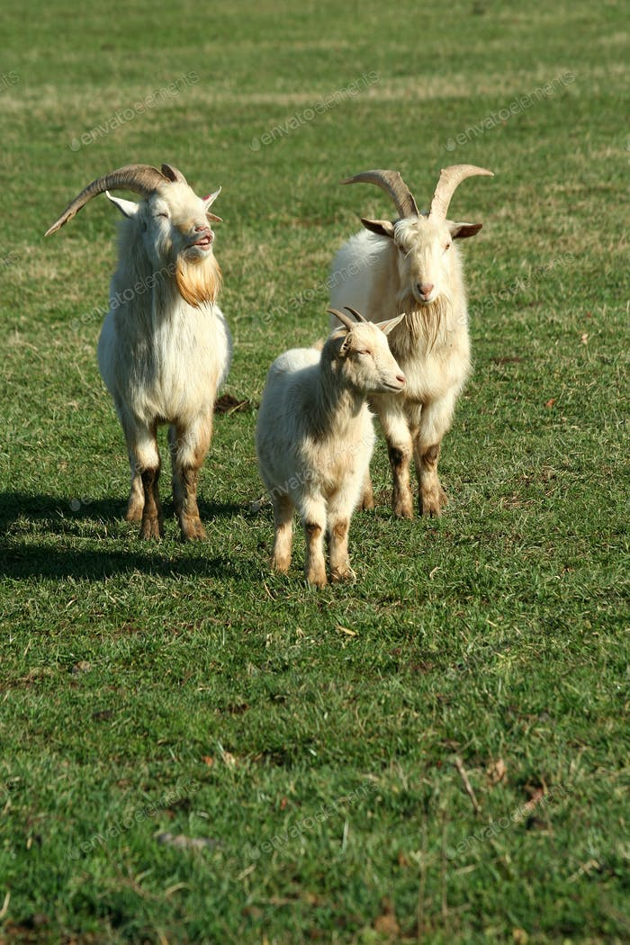 Three goats in a field