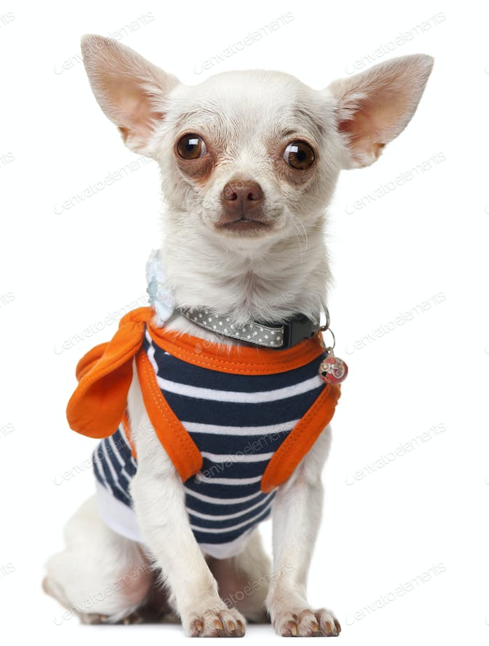 Chihuahua wearing striped shirt, sitting in front of white background