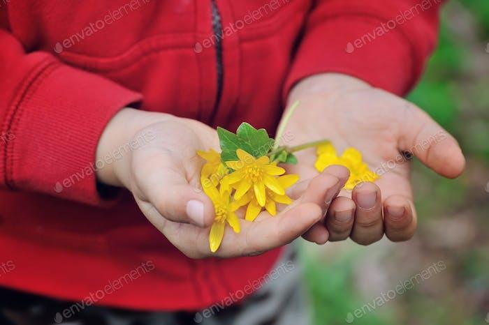 Spring yellow flowers in children's hands