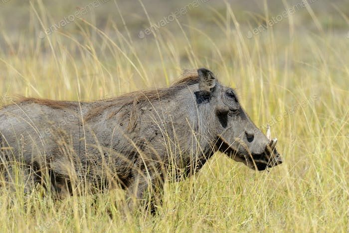 Warthog in National park of Africa