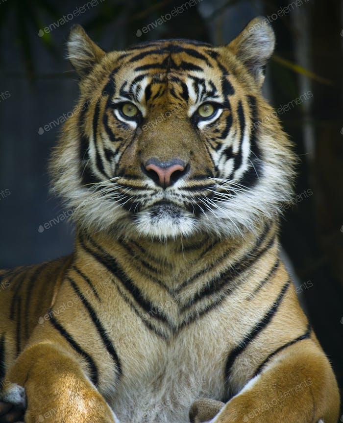 Proud Sumatran Tiger