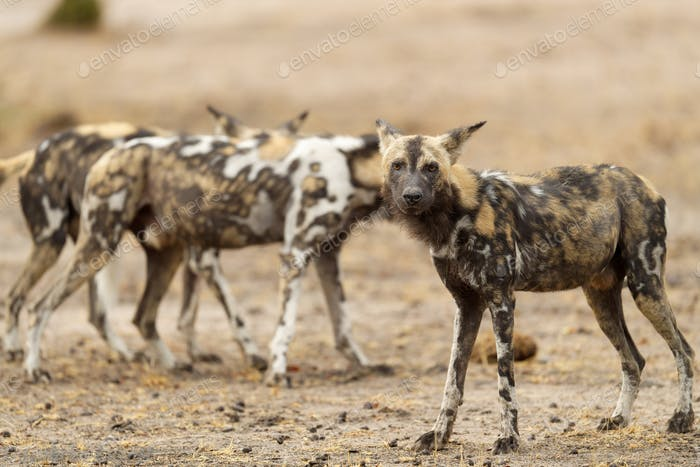 african wil dog