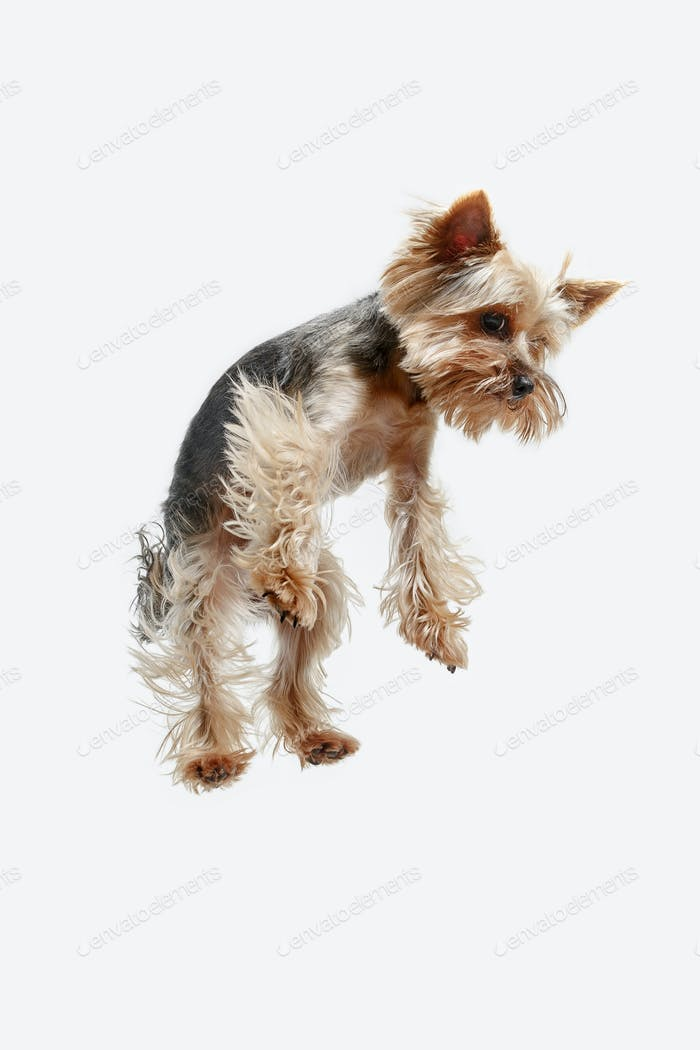 Yorkshire terrier isolated om white background