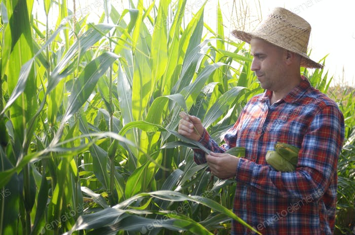 Middle age caucasian Farmer in straw hat inspecting maize cornfield