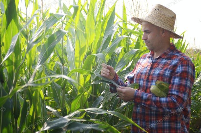 Edad media caucásica Agricultor en sombrero de paja inspeccionando campo de maíz