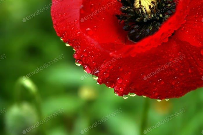 Poppy flower in the dew