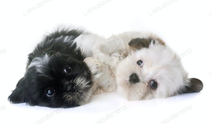 puppies shih tzu in studio