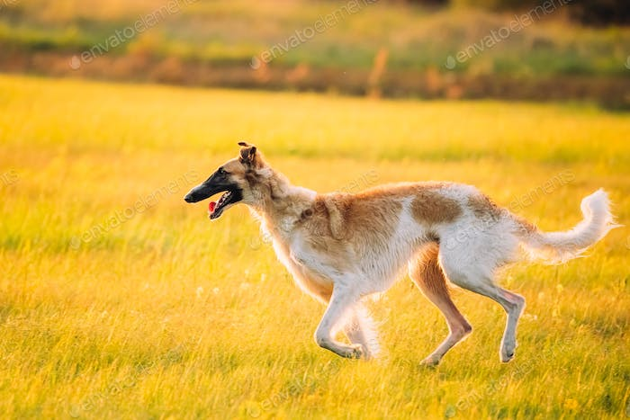 Russian Dog, Borzoi Running In Summer Sunset Sunrise Meadow Or F