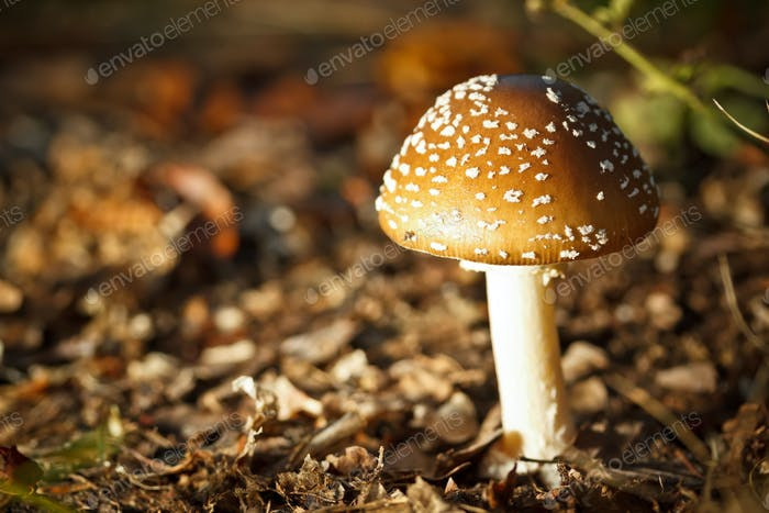 Toadstool at the forest
