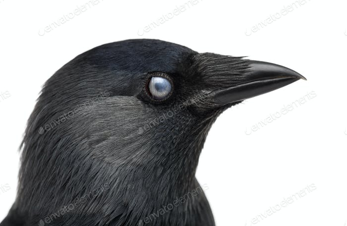 Close-up of a Western Jackdaw with the Nictitating membrane almost closed, Corvus monedula