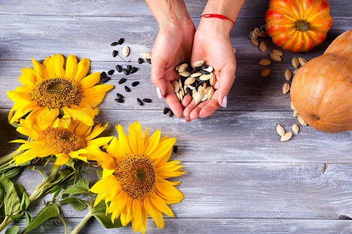 Female hands holding sunflower seeds and pumpkins on a gray wooden background. Top view