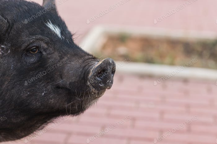 Wild black boar or pig. Wildlife in natural habitat