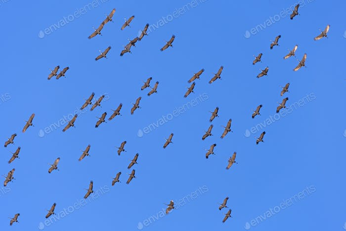 Cranes  flying overhead on Migration