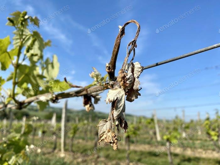 dried grape vine