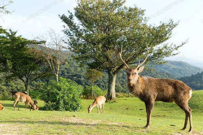 Wild stag deer on mountain