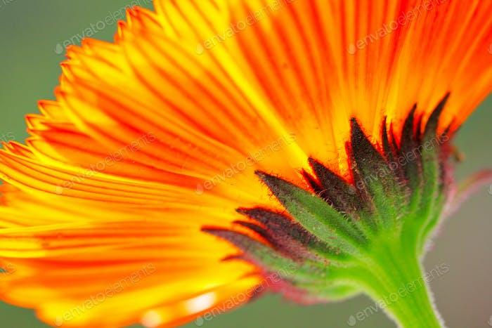 orange color flower in close up