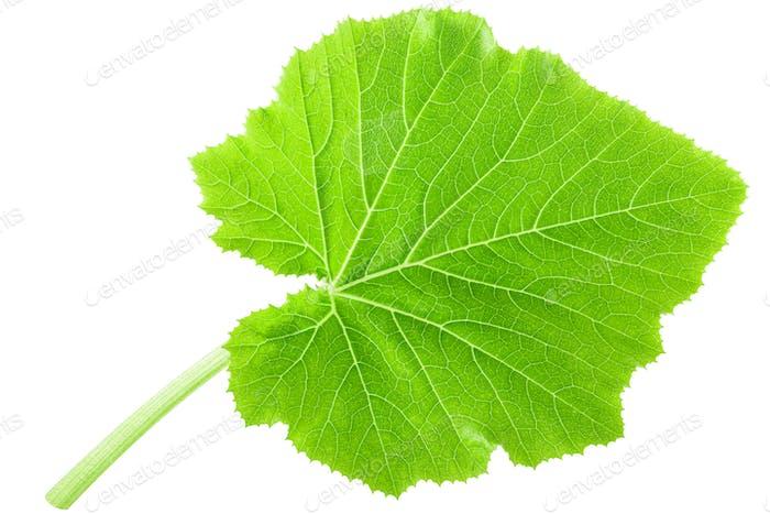 Pattypan squash young leaf, paths