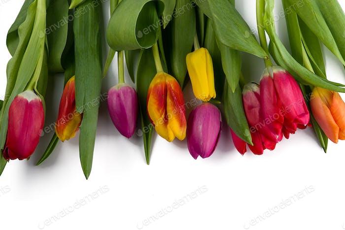 schöne Farbe Tulpan isoliert auf weißem Hintergrund