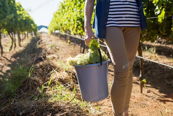Low section of female vintner holding harvested grapes in bucket